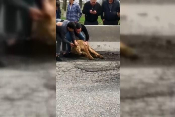 В Самарканде обнаружили львёнка, лежащего на дороге