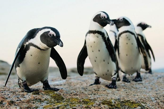 В Южной Африке пчелы убили более 60 редких пингвинов