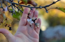 Узгидромет: морозы повредят распустившиеся почки, цветки плодовых культур