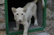 Гости из Африки: в Ташкентском зоопарке поселились два львенка редкого окраса