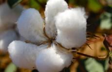 Делегация Cotton Campaign посетит Узбекистан